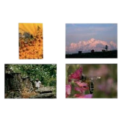 series-of-4-bee-posters-of-70x49cm