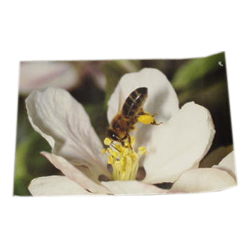 45-x-30cm-poster-bee-perched-on-apple-blossom